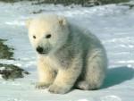 petit ours blanc - Orso bianco Maschio (2 mesi)