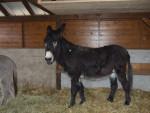 Asino Ane - Maschio ( (3 anni))