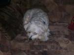 Cane Skippy - Maschio ( (8 anni))