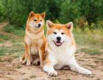 Cane Un Shiba et un Akita - ()
