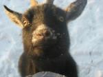 Capra My Goat - ( (2 anni))