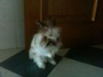 Coniglio nano Buny - Maschio ( (2 anni))