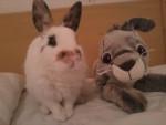 Coniglio Elliott - Maschio ( (2 anni))