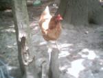 Pollo Hen - ( (1 anno))