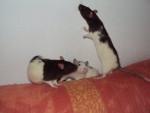 Ratto delice,metalica et flocon - ()