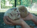 Riccio African White Dwarfs - Maschio ( (1 anno))
