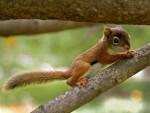 Scoiattolo écureuil - ()