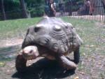 Tartaruga tortue - ()