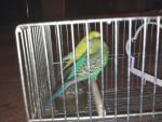 Uccello Hansel y Gretel - Maschio ( (3 anni))