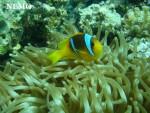Nemo - Maschio (1 mese)